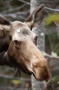 The Moose Watch Trail brings you through prime wildlife habitat.